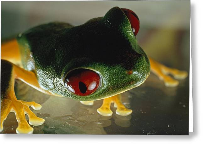 Close-up Of A Red-eyed Tree Frog Greeting Card by Paul Zahl
