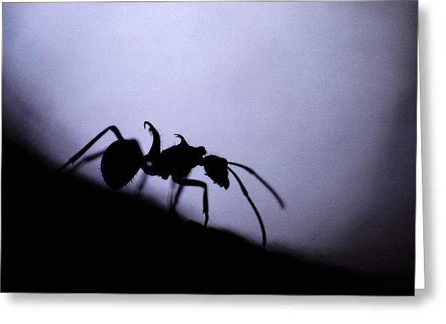 Borneo Island Greeting Cards - Close-up Of A Silhouetted Ant Greeting Card by Mattias Klum