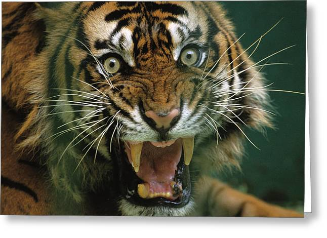 The Tiger Greeting Cards - Close-up Of A Snarling Tiger, Panthera Greeting Card by Michael Nichols