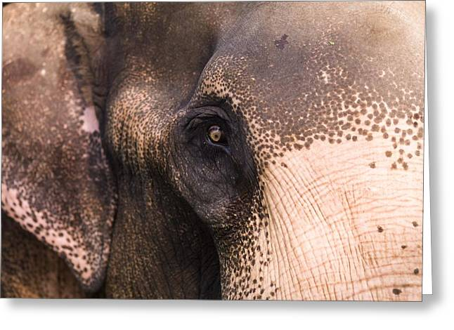 Animal Behaviour Greeting Cards - Close Up Of Elephant Greeting Card by Keith Levit