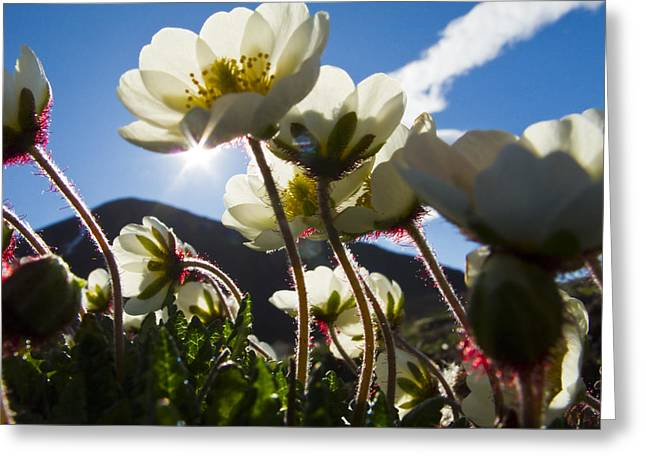 Avens Greeting Cards - Close Up Of Mountain Avens Greeting Card by Ralph Lee Hopkins