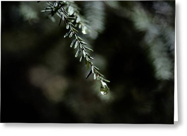 Pine Needles Greeting Cards - Close-up Of Pine Needles Covered In Dew Greeting Card by James P. Blair