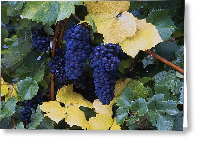 Close-up Of Ripe, Wine Grapes And Leaves Greeting Card by Natural Selection Craig Tuttle