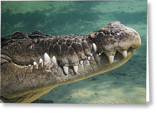 Close To People Greeting Cards - Close-up Of Saltwater Crocodile Greeting Card by David Ponton