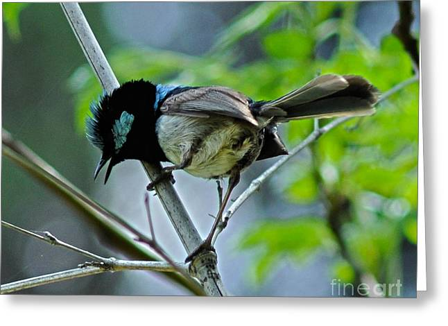 Joanne Kocwin Photographs Greeting Cards - close up of Superb Fairy-wren Greeting Card by Joanne Kocwin