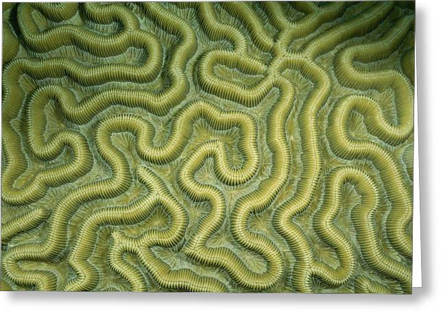 Turks And Caicos Islands Greeting Cards - Close-up Of The Exterior Of Brain Coral Greeting Card by Wolcott Henry