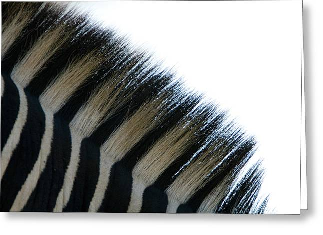 Zebra Patterns Greeting Cards - Close Up Of The Mane Of A Burchells Or Greeting Card by Paul Sutherland
