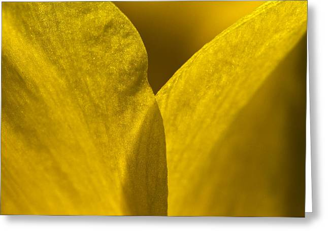 Recently Sold -  - Close Focus Nature Scene Greeting Cards - Close Up Of The Petals Of A Daffodil Greeting Card by Todd Gipstein