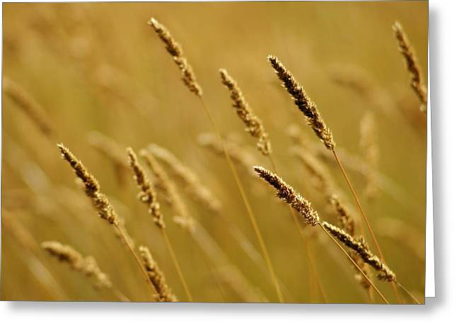 Whole Field Greeting Cards - Close-up Of Wheat Greeting Card by Jim Weeks