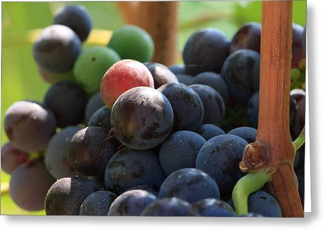Syrah Greeting Cards - Close Up Of Wine Grapes Greeting Card by Dina Calvarese