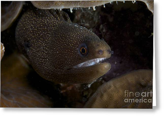 Undersea Photography Greeting Cards - Close-up View Of A Goldentail Moray Eel Greeting Card by Terry Moore