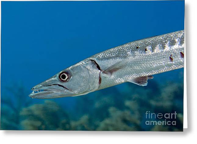 Undersea Photography Greeting Cards - Close-up View Of A Great Barracuda Greeting Card by Terry Moore