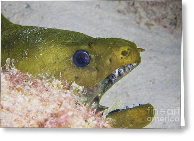 Undersea Photography Greeting Cards - Close-up View Of A Large Green Moray Greeting Card by Terry Moore
