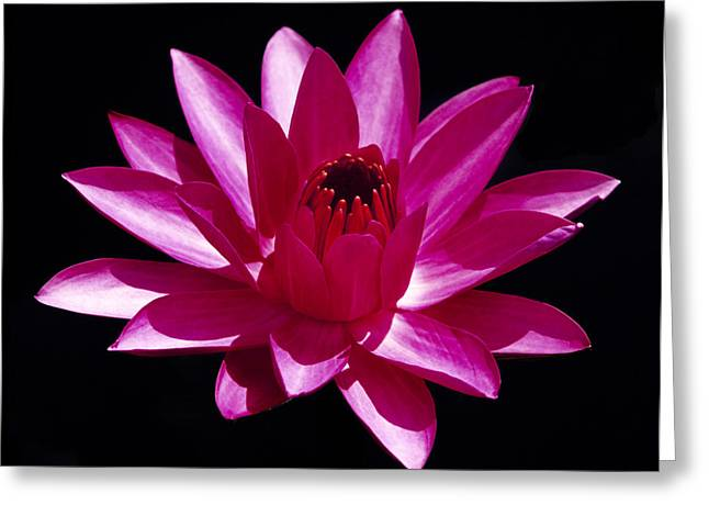 Aquatic Greeting Cards - Close Up View of a Red Water Lily Greeting Card by George Oze
