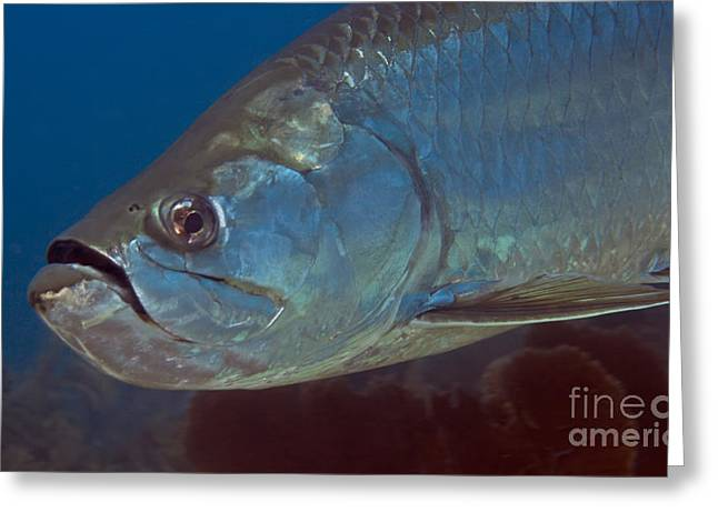 Fish Scales Greeting Cards - Close-up View Of A Tarpon Off The Coast Greeting Card by Michael Wood