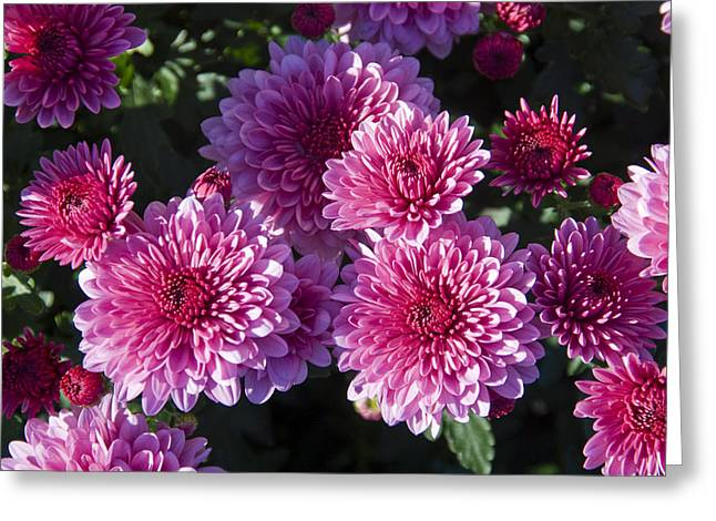 Medium Flowers Greeting Cards - Close-up View Of Pink Mums Greeting Card by Todd Gipstein