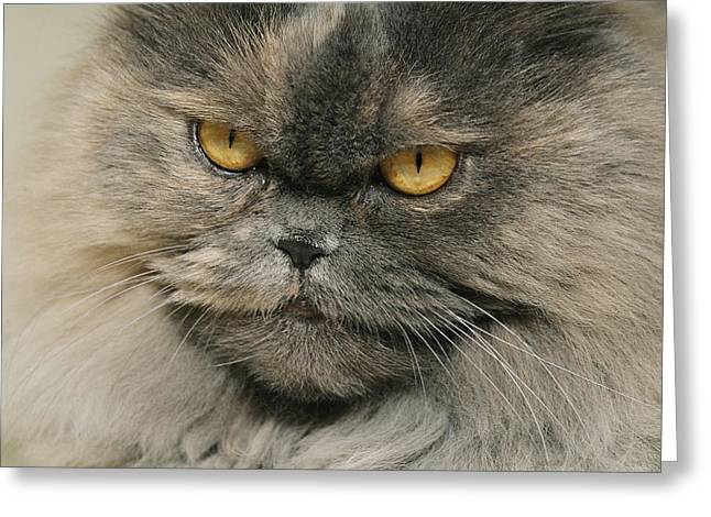 Germantown Greeting Cards - Close View, Face Shot Of Grey Himalayan Greeting Card by Brian Gordon Green