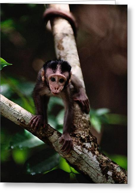 Borneo Island Greeting Cards - Close View Of A Baby Macaque Greeting Card by Mattias Klum