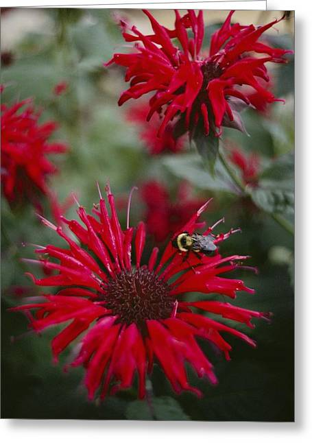 Balm Greeting Cards - Close View Of A Bee Resting On A Red Greeting Card by Sam Abell