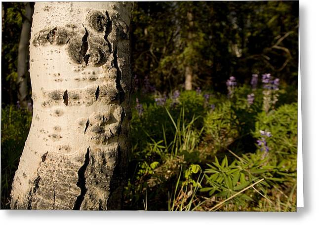 Whitehorse Greeting Cards - Close View Of A Birch Tree In Yukon Greeting Card by Stephen St. John