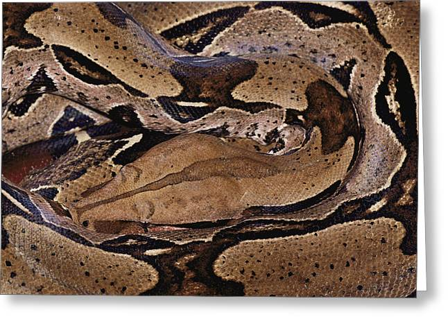 Patterns In Nature Greeting Cards - Close View Of A Brightly Patterned Boa Greeting Card by Mattias Klum