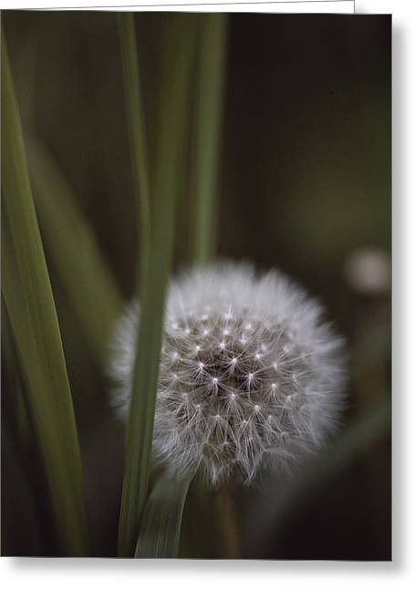 Plant Physiology Greeting Cards - Close View Of A Dandelion That Has Gone Greeting Card by Annie Griffiths