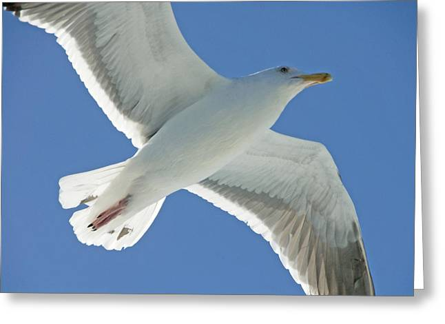 Flying Seagull Greeting Cards - Close View Of A Flying Seagull Greeting Card by Stephen Sharnoff