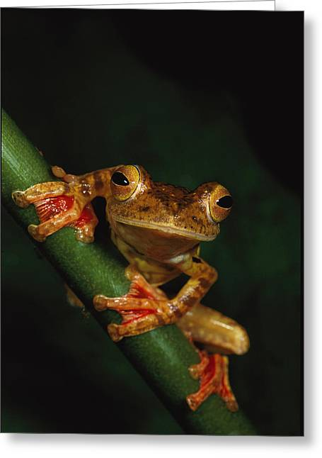 Recently Sold -  - Rhacophorus Greeting Cards - Close View Of A Harlequin Tree Frog Greeting Card by Tim Laman