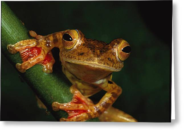 Close View Of A Harlequin Tree Frog Greeting Card by Tim Laman
