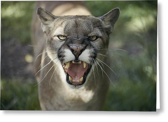 Hostility Greeting Cards - Close View Of A Hissing Puma, Or Greeting Card by Jason Edwards
