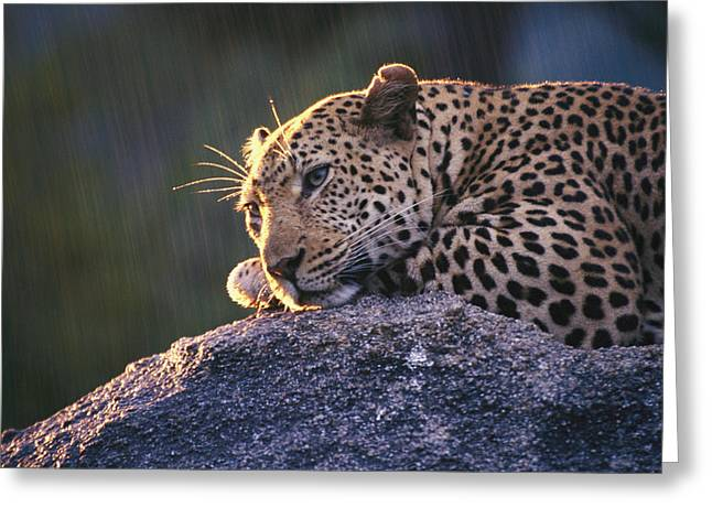 Wildcats Greeting Cards - Close View Of A Leopard Sunning Himself Greeting Card by Kim Wolhuter
