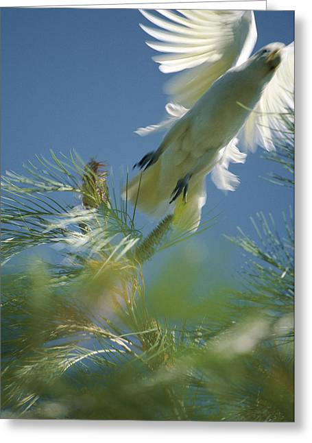 Pine Needles Greeting Cards - Close View Of A Little Corella Cockatto Greeting Card by Jason Edwards