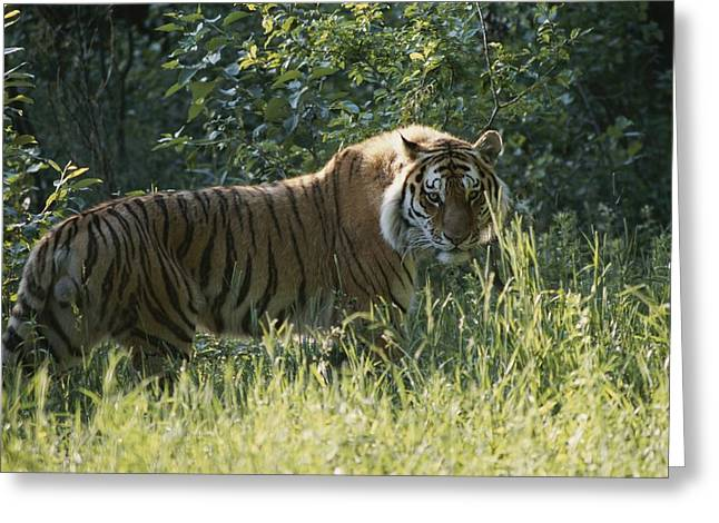 The Tiger Greeting Cards - Close View Of A Male Siberian Tiger Greeting Card by Dr. Maurice G. Hornocker