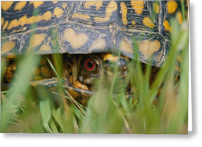 Terrapin Greeting Cards - Close View Of A Maryland Terrapin Male Greeting Card by Brian Gordon Green