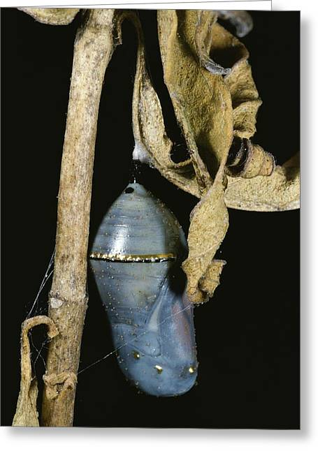 Animal Life Cycles Greeting Cards - Close View Of A Monarch Chrysalis Greeting Card by Stephen Sharnoff