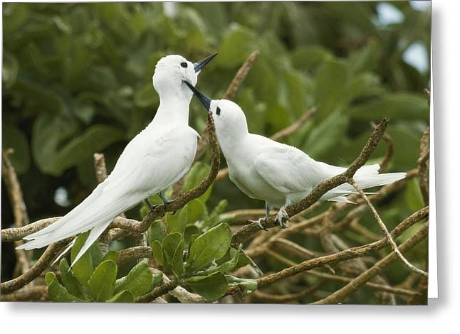 Tern Greeting Cards - Close View Of A Pair Of Fairy Terns Greeting Card by Jonathan Blair