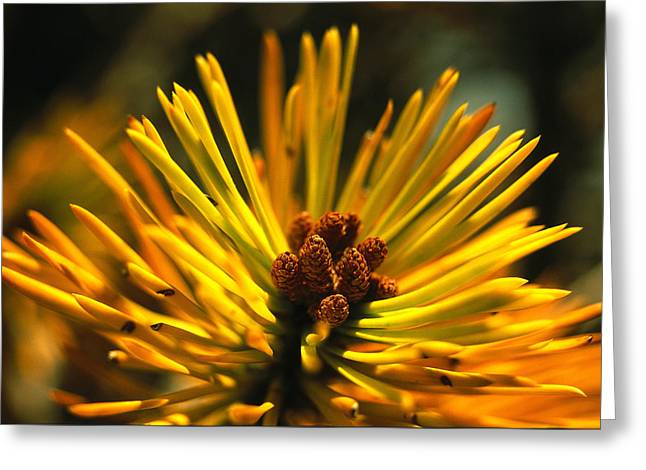Pine Needles Greeting Cards - Close View Of A Pine Bough In Tuolumne Greeting Card by Phil Schermeister