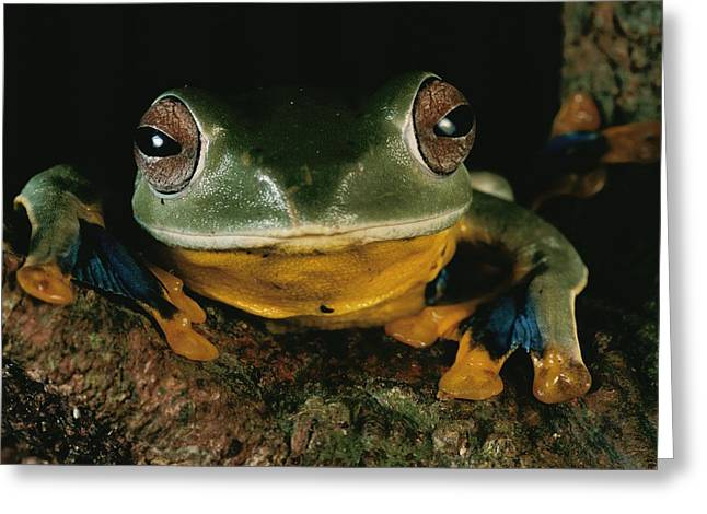 Borneo Island Greeting Cards - Close View Of A Tree Frog Greeting Card by Tim Laman