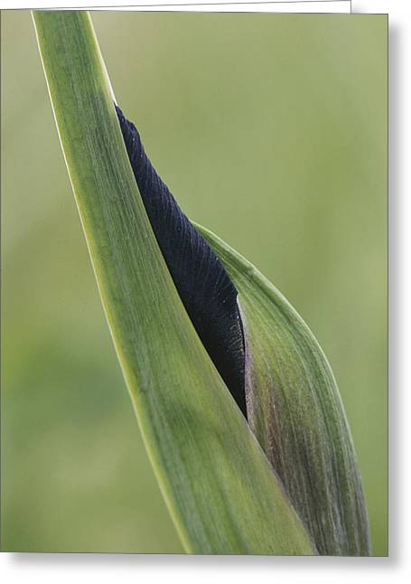 Plant Growth And Decay Greeting Cards - Close View Of A Wild Iris Bud Greeting Card by Tom Murphy