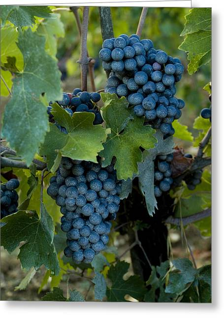 Chianti Greeting Cards - Close View Of Chianti Grapes Growing Greeting Card by Todd Gipstein