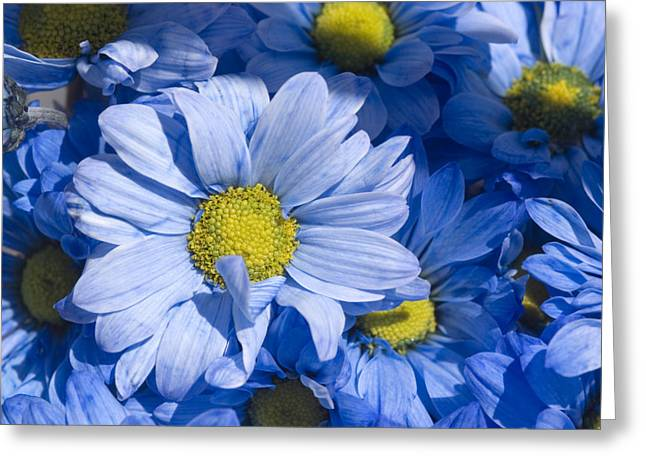 Ventura California Greeting Cards - Close View Of Dyed Blue Dasies Greeting Card by Stacy Gold