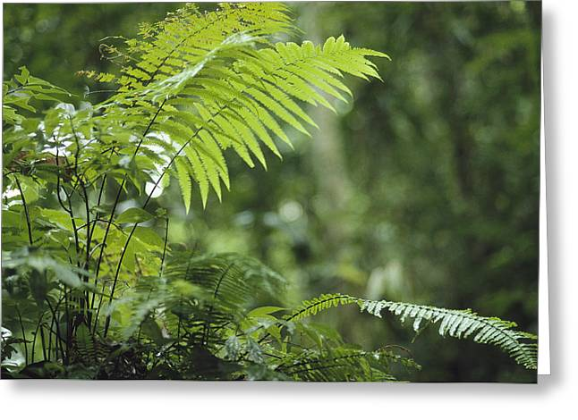New Britain Greeting Cards - Close View Of Ferns In A Papua New Greeting Card by Klaus Nigge