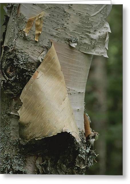 Close View Of Paper-birch Bark Greeting Card by Michael S. Lewis