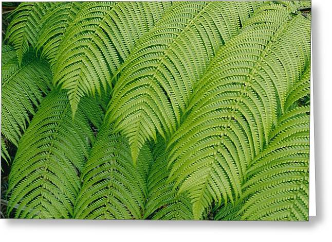 Close View Of Tree Ferns Cibotium Greeting Card by Marc Moritsch