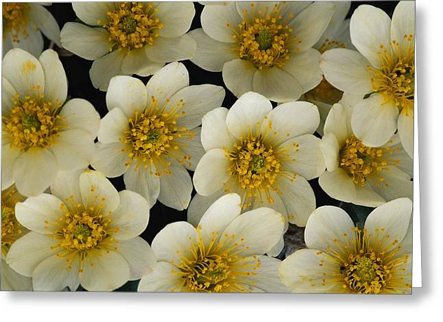 Avens Greeting Cards - Close View Of White Mountain Avens Greeting Card by Paul Nicklen
