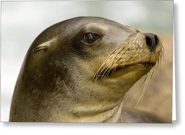 Recently Sold -  - California Sea Lions Greeting Cards - Closeup Of A California Sea Lion Greeting Card by Tim Laman