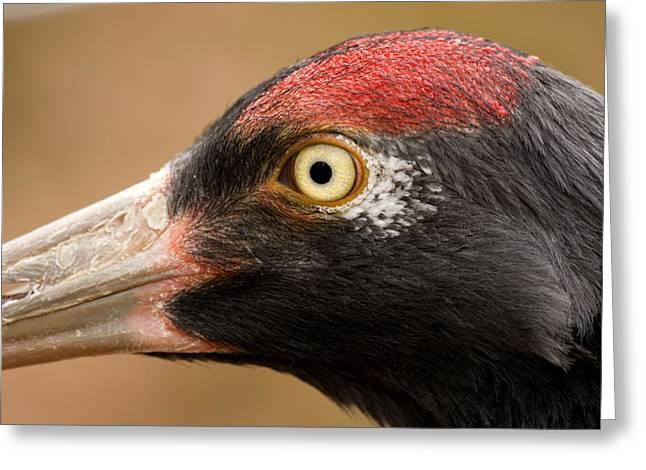 Captive Animals Greeting Cards - Closeup Of A Captive Black-necked Crane Greeting Card by Tim Laman