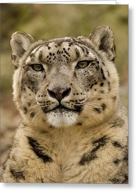 Captive Animals Greeting Cards - Closeup Of A Captive Snow Leopard Greeting Card by Tim Laman