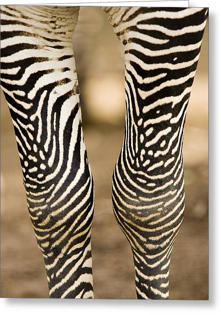 Captive Animals Greeting Cards - Closeup Of A Grevys Zebras Legs Equus Greeting Card by Tim Laman
