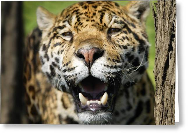 Closeup Of A Leopard Greeting Card by Don Hammond
